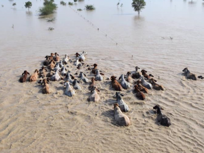 Cattle in flood waters